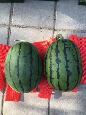 山东省潍坊市寒亭区早春红玉西瓜 1茬 有籽 4斤打底 9成熟