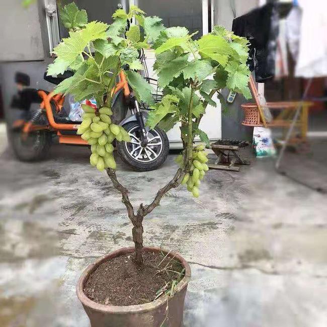 盆栽葡萄树修剪图解