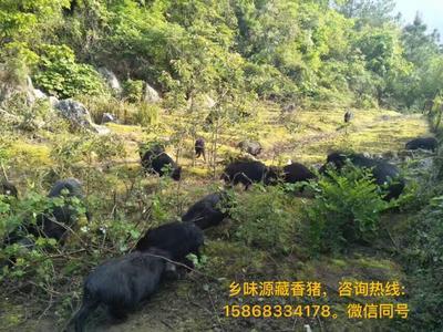 重庆渝北区藏香猪 80斤以上