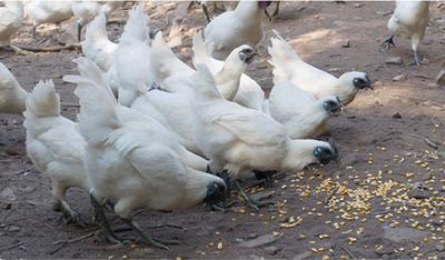 广东省广州市南沙区白凤乌鸡 ~乌骨鸡~祝丝鸡
