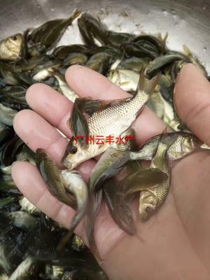 广东省广州市白云区池塘鲤鱼 0.05公斤 人工养殖