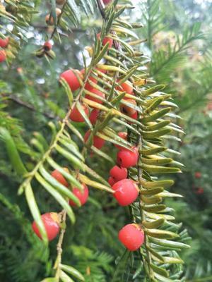福建省龙岩市新罗区南方红豆杉 3.5米~5米