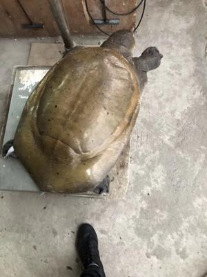 广东省广州市从化区野生甲鱼
