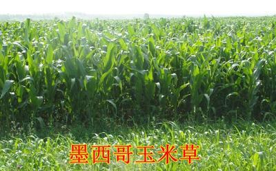 山东省菏泽市郓城县牧草 10斤送一斤,保证发