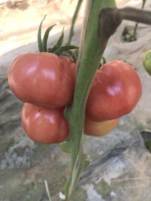 陕西省渭南市华县普罗旺斯番茄 精品 弧二以上 软粉