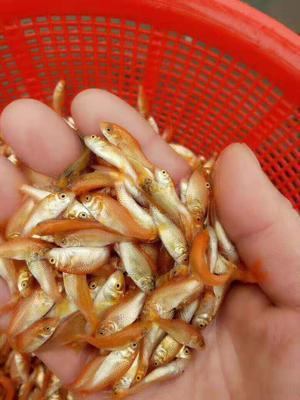 广东省广州市白云区金鲤鱼 人工养殖 0.05公斤