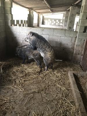 广西壮族自治区南宁市兴宁区特种野猪 80斤以上 统货