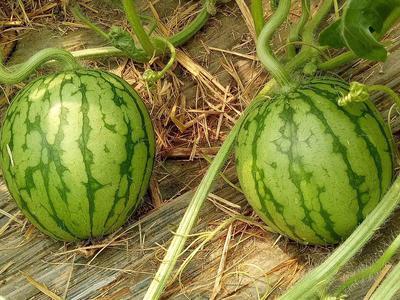 山东省潍坊市寒亭区早春红玉西瓜 1斤打底 8成熟 1茬 有籽