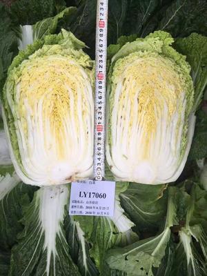 山东省临沂市兰山区黄心白菜种子 杂交种 ≥85%
