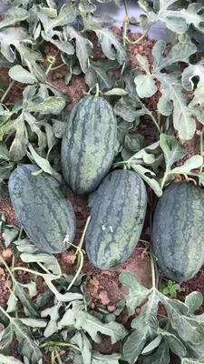 河南省南阳市邓州市黑美人西瓜 15斤打底 8成熟 有籽 1茬