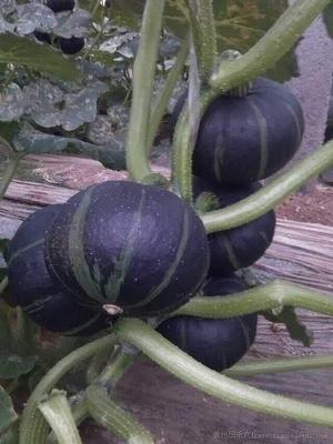 山东省临沂市兰山区黑皮南瓜种子 85% 黑贝贝南瓜种子