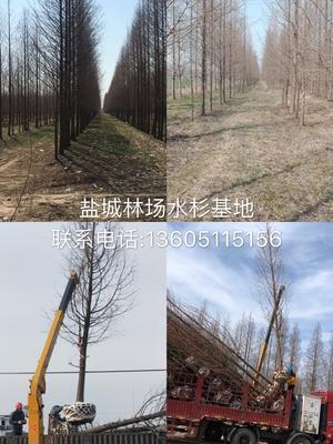 江苏省盐城市亭湖区普通水杉