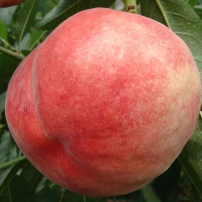 这是一张关于中华寿桃桃树苗 1.5~2.0米 的产品图片