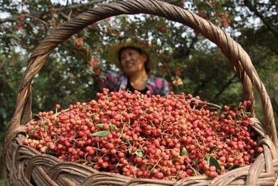 陕西省渭南市韩城市大红袍花椒 一级 干花椒
