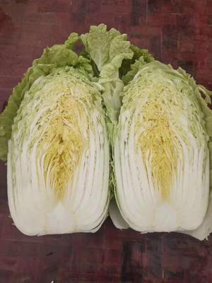 山东省临沂市兰陵县黄心大白菜 6~10斤 毛菜