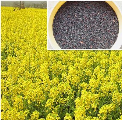 江苏省南京市六合区油菜籽种子 常规种 ≥95% ≥95% ≥98% ≤3%