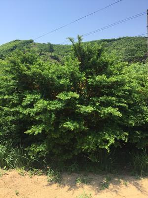 辽宁省丹东市振兴区东北红豆杉 1.5~2米