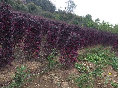 湖南省长沙市雨花区黑珍珠红继木