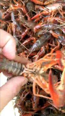 这是一张关于中国龙虾 0.4-0.6斤/只 国产 的产品图片