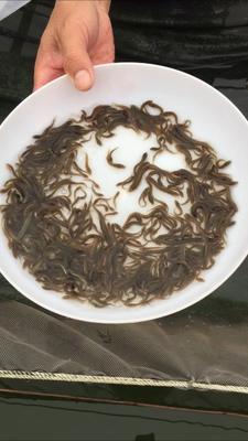 广东省清远市清新区台湾泥鳅 人工养殖 3-5cm 55尾/公斤