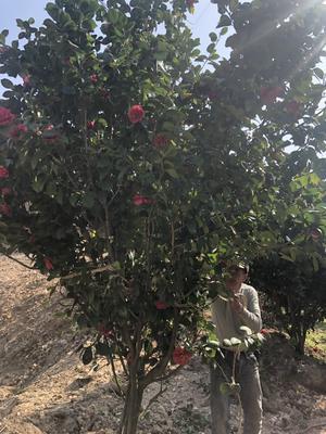 浙江省宁波市奉化市茶花树 140cm以上