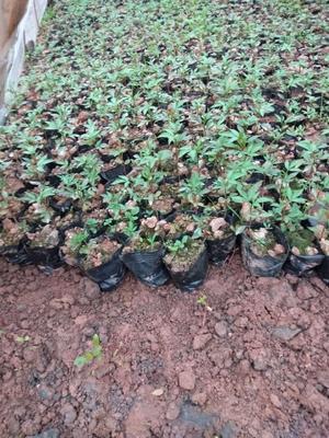 这是一张关于天知椒花椒苗 的产品图片