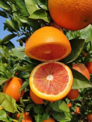 四川省内江市资中县塔罗科血橙 统货 产地直供 大量要货提前联