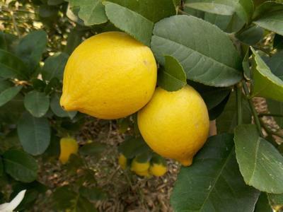 重庆潼南县黄柠檬 1.6 - 2两