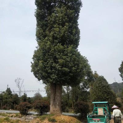 浙江省金华市婺城区小叶樟 大型樟树,单杆、丛生,移栽五年