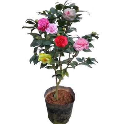 广东省茂名市高州市五色赤丹 30~50cm 10色赤丹茶花苗,10种花色