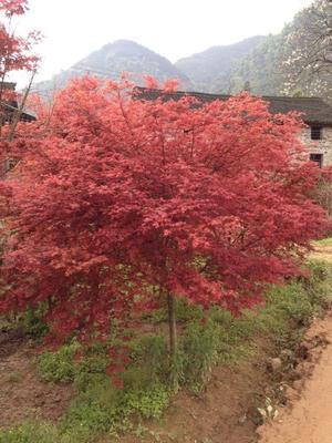 广西壮族自治区桂林市全州县日本红枫红舞姬