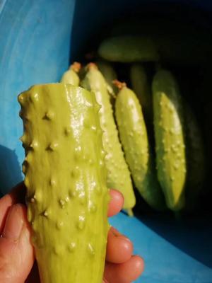 山东省烟台市海阳市海阳白玉黄瓜 15~25cm