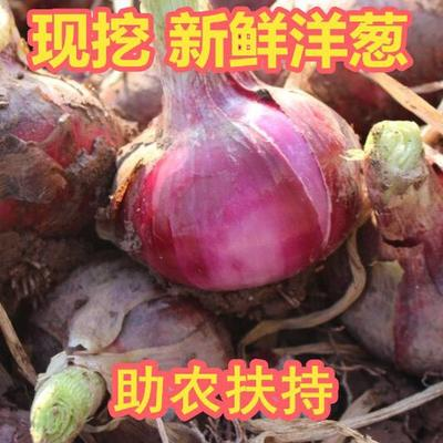 四川省成都市大邑县红皮洋葱 7cm以下