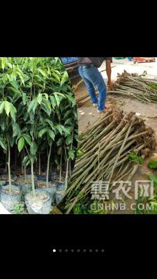 广西壮族自治区南宁市江南区奇楠沉香树