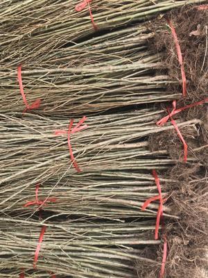 这是一张关于红灯樱桃苗 实生苗的产品图片
