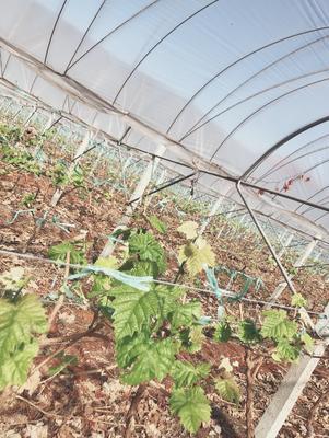 云南省大理白族自治州宾川县阳光玫瑰 1.5- 2斤 5%以下 1次果