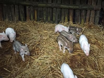 福建省三明市宁化县特种野猪 30-40斤 统货