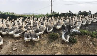 云南省红河哈尼族彝族自治州个旧市狮头鹅 全散养 统货 10-12斤