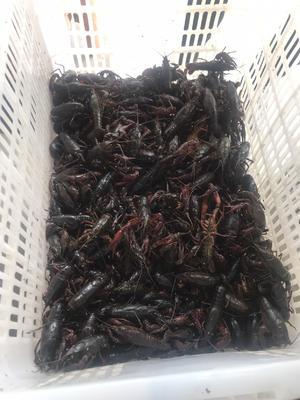 湖北省荆州市公安县青壳小龙虾 6-8钱 湖虾