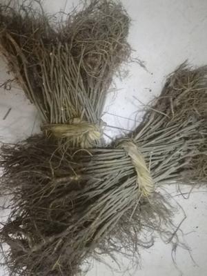 这是一张关于黑珍珠桑树苗 的产品图片