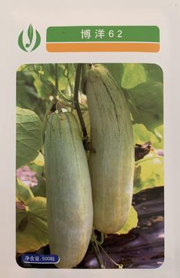 山东省聊城市莘县博洋62甜瓜种子 杂交种 ≥85%