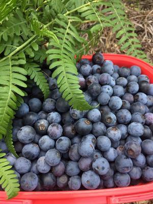 贵州省贵阳市乌当区兔眼蓝莓 10 - 12mm以上 鲜果