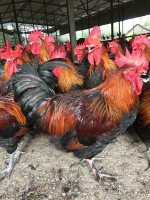 这是一张关于黑瑶鸡苗 的产品图片
