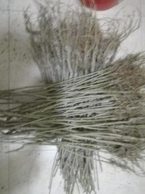 这是一张关于四季大果桑苗 的产品图片