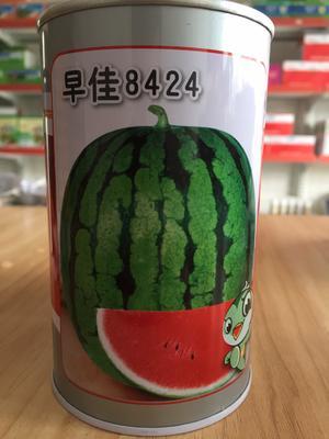 浙江省温州市文成县早佳8424西瓜种子 早中熟单瓜重5到8公斤超甜红瓤