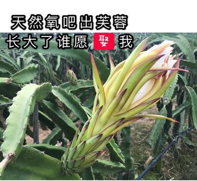 这是一张关于红皮红肉火龙果 源自海南的产品图片