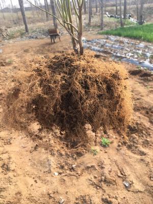 这是一张关于莱克西蓝莓苗 的产品图片