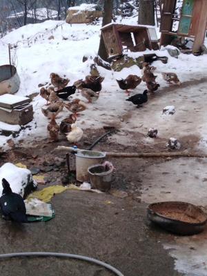 这是一张关于土洋鸭 统货 3-4斤 全散养 的产品图片