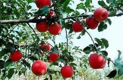 这是一张关于红心苹果苗 1~1.5米 的产品图片