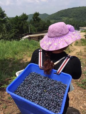 贵州省贵阳市修文县兔眼蓝莓 10 - 12mm以上 鲜果